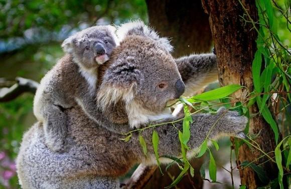 koala-61189_640_e