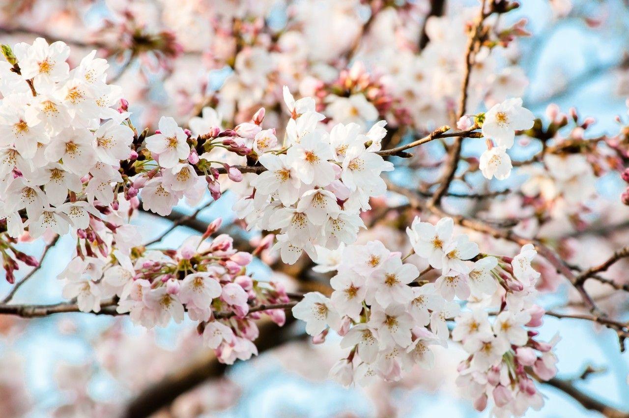 COOKPADで見つけた可愛くて美味しい桜レシピ・1