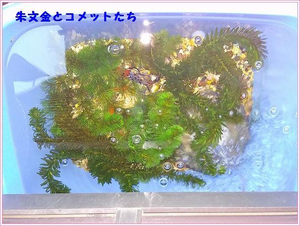 2017-01-16 金魚1