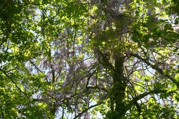 裏磐梯五色沼 藤の花