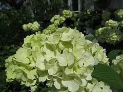 08-06-01オオデマリ
