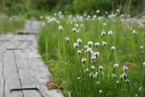 デコ平湿原ワタスゲ110615