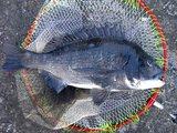 黒鯛本年最大