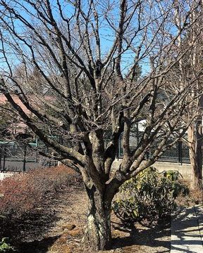 庭の桜加工