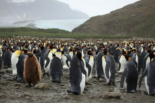 king_penguin_02
