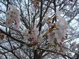 桜(接写)