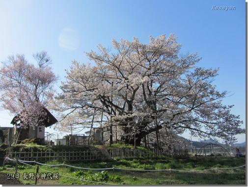 神代桜120430