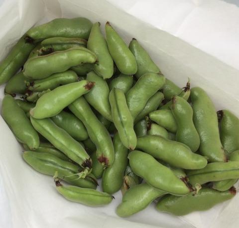 大変です!!空豆大量収穫です!!