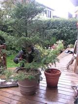 もみの木、前の鉢と