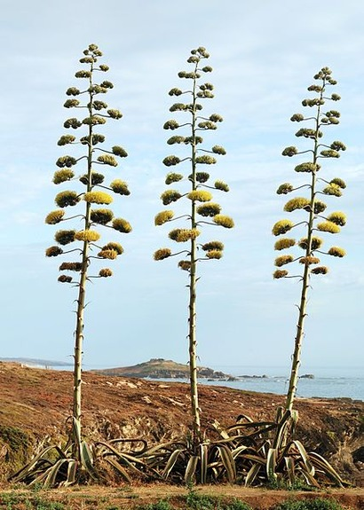 427px-Agave_July_2011-1
