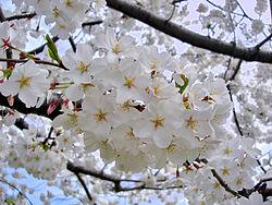 【ようやくわかったか】ソメイヨシノ起源論争の虚しい結末~私たちの伝統でない桜祭りを民族主義で包装する自己欺まん、もうやめよう