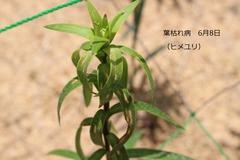 葉枯れ病20200608