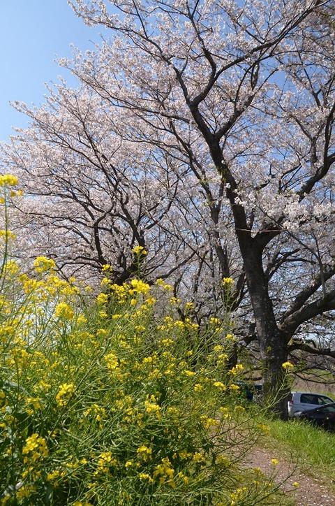 桜(流川20200404)No26
