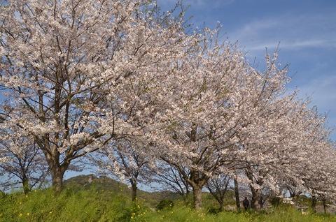 桜(花立山20200404)No1