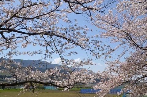 桜(流川20200404)No17