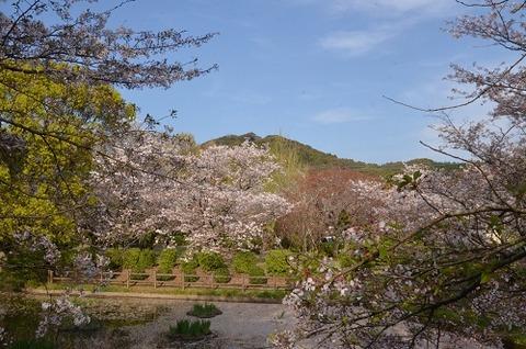 桜(花立山20200404)No16