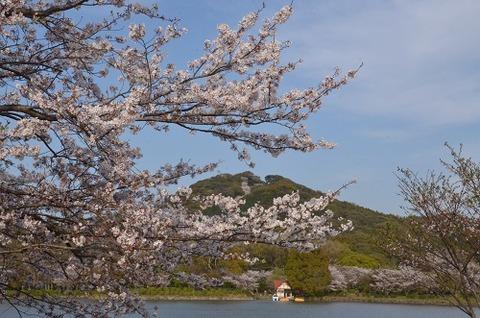桜(花立山20200404)No22