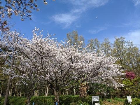 桜(花立山20200404)No13