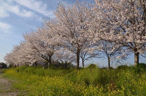 桜(花立山20200404)No2