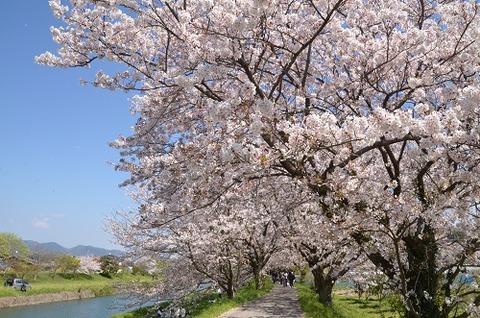 桜(流川20200404)No20