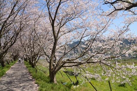 桜(流川20200404)No19