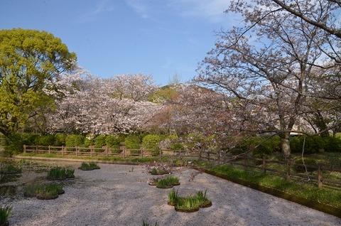 桜(花立山20200404)No17