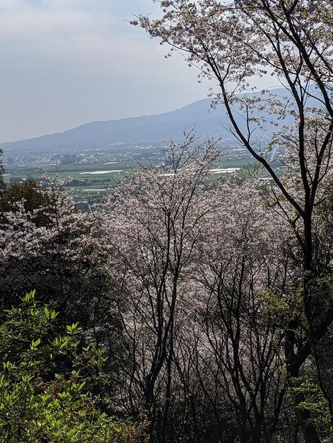 桜(花立山20200404)No5