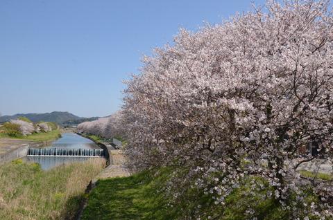 桜(流川20200404)No11