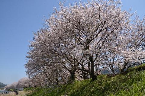 桜(流川20200404)No4