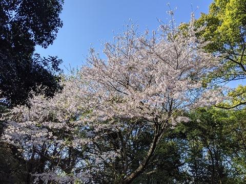 花立山20200404No33