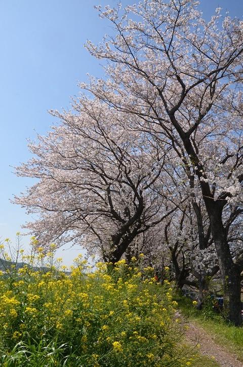 桜(流川20200404)No25