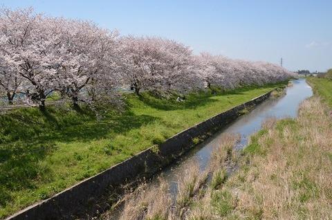 桜(流川20200404)No8
