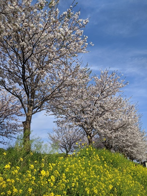桜(花立山20200404)No23