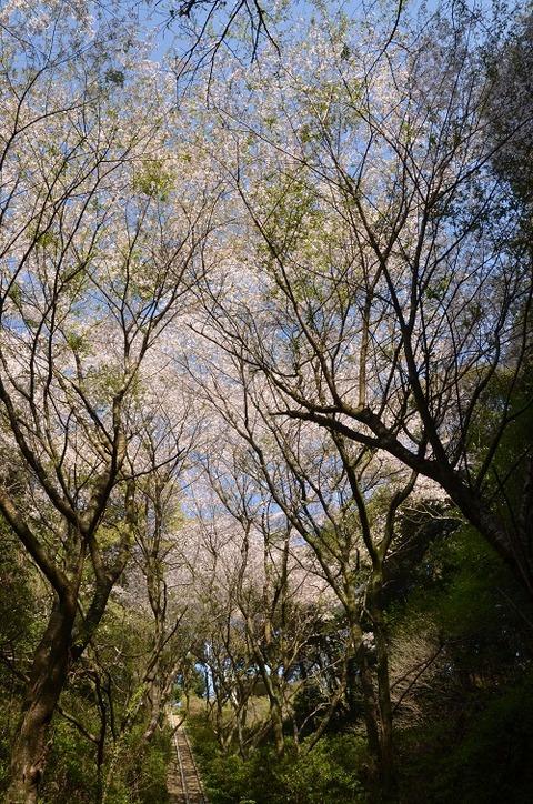 桜(花立山20200404)No3
