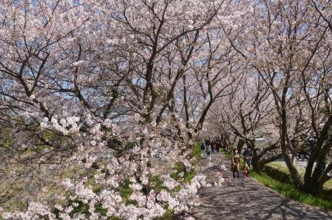 桜(流川20200404)No5
