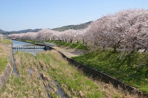 桜(流川20200404)No9