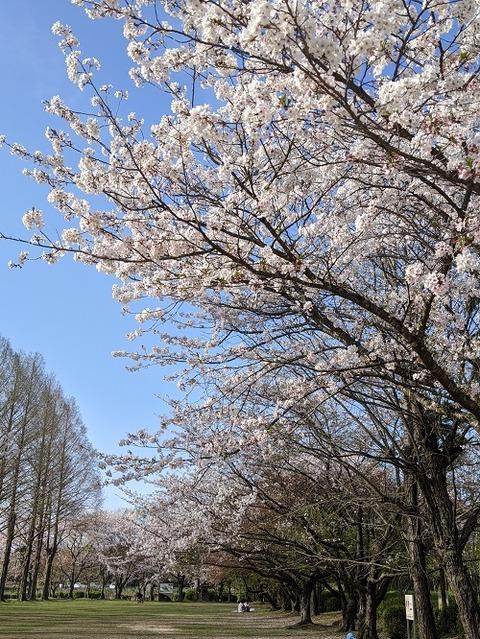 桜(花立山20200404)No12