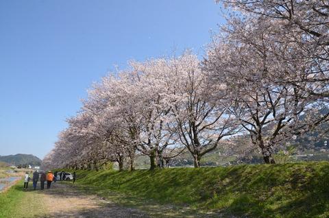 桜(流川20200404)No1