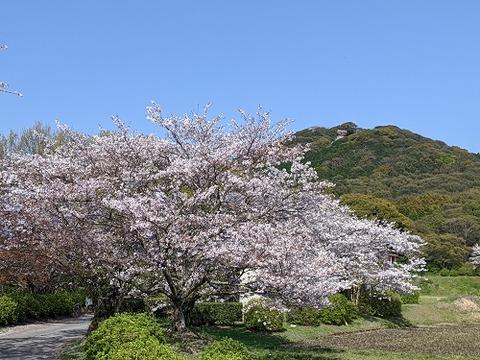 桜(花立山20200404)No9