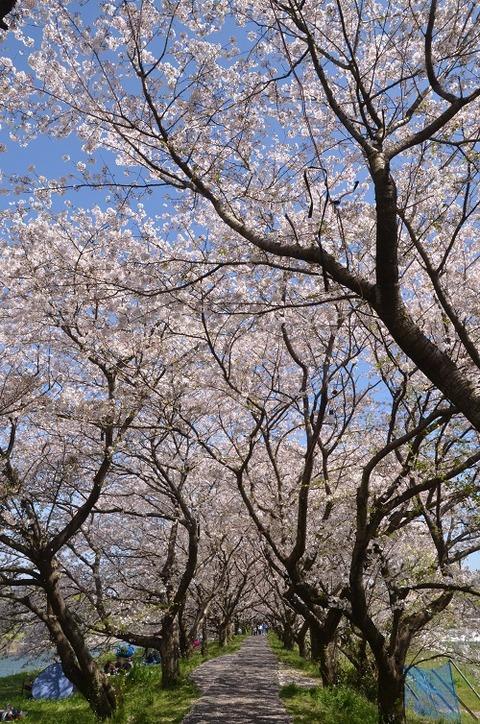 桜(流川20200404)No22