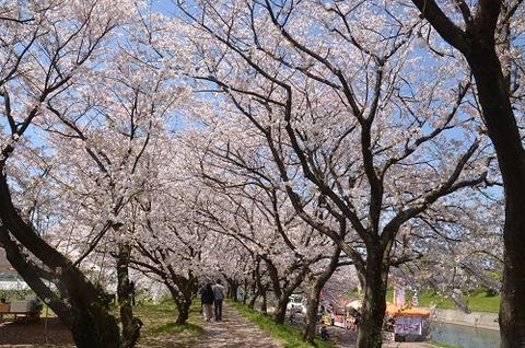 桜(流川20200404)No7