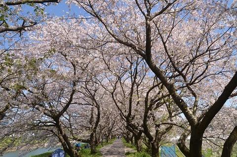 桜(流川20200404)No21
