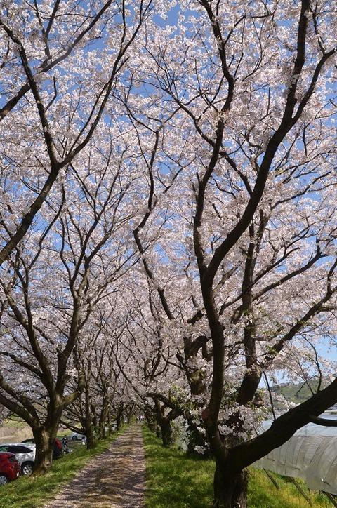 桜(流川20200404)No23