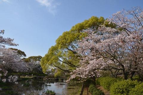 桜(花立山20200404)No18