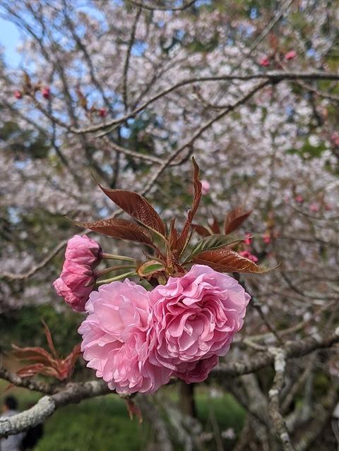 桜(花立山20200404)No11