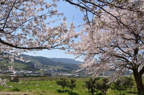 桜(流川20200404)No3