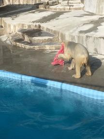 荒ぶるシロクマ