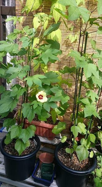 8月6日、黄色い花がひとつ咲いた和綿