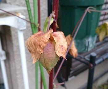 12月の綿の実、包葉も枯れ色