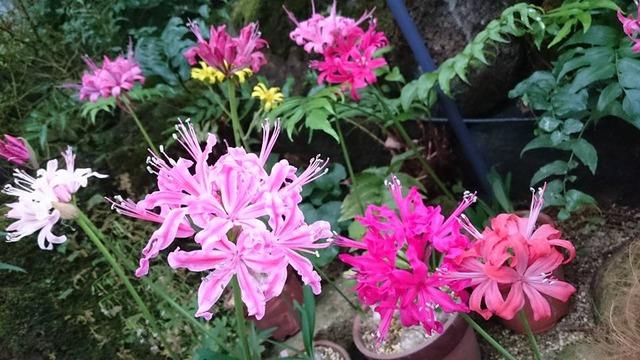 大温室のネリネ展、花の文化園